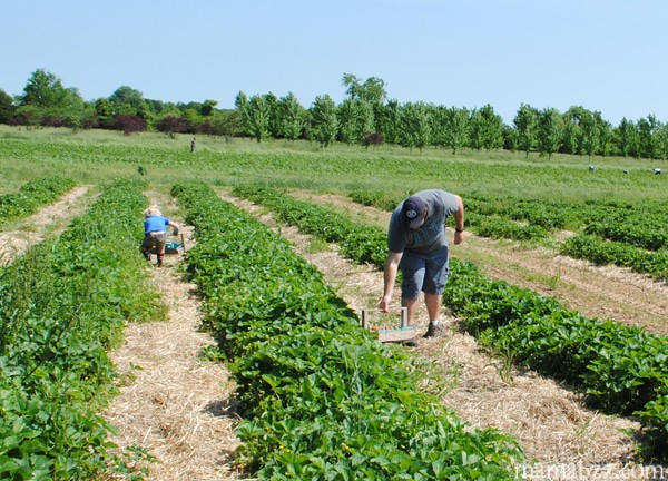 Family-fun-at-the-strawberry-patch