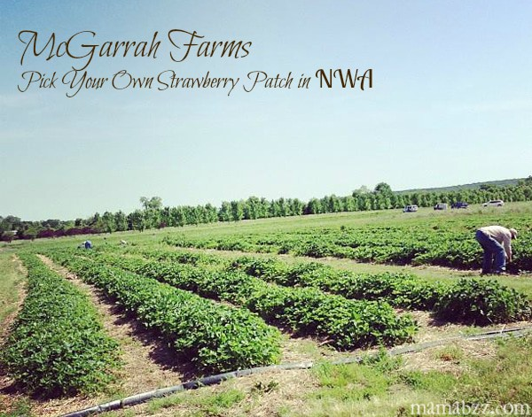McGarrah-Farms-Strawberry-Patch-in-Northwest-Arkansas