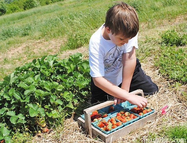 Picking-strawberries-at-McGarrah-Farms