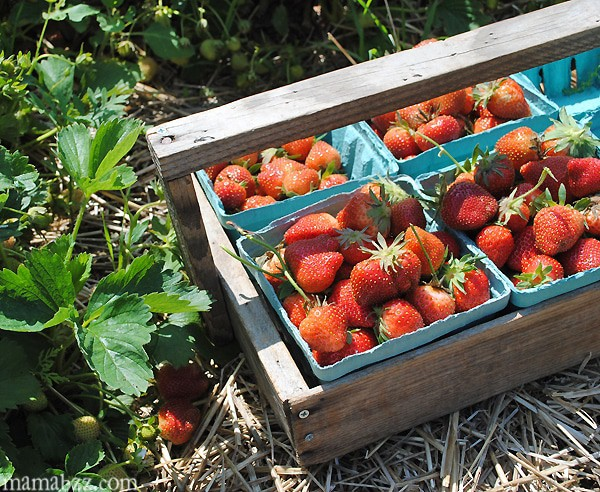 Strawberries-from-McGarrah-Farms