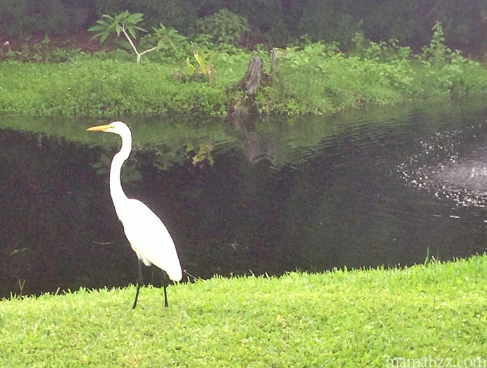 Wildlife at Anchor Inn and Cottages on Sanibel Island