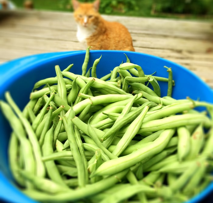 Snapping Green Beans with My Helper