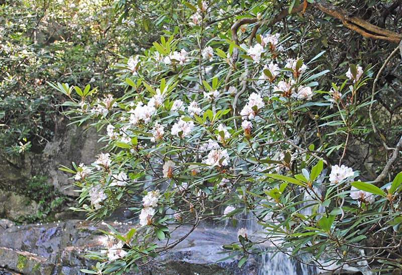 mountain laurel around Laurel Falls in the Great Smoky Mountains