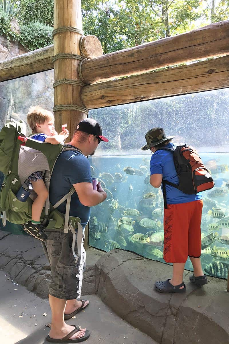 things to do in St. Louis include watching the hippos swim with the fish at the St. Louis Zoo