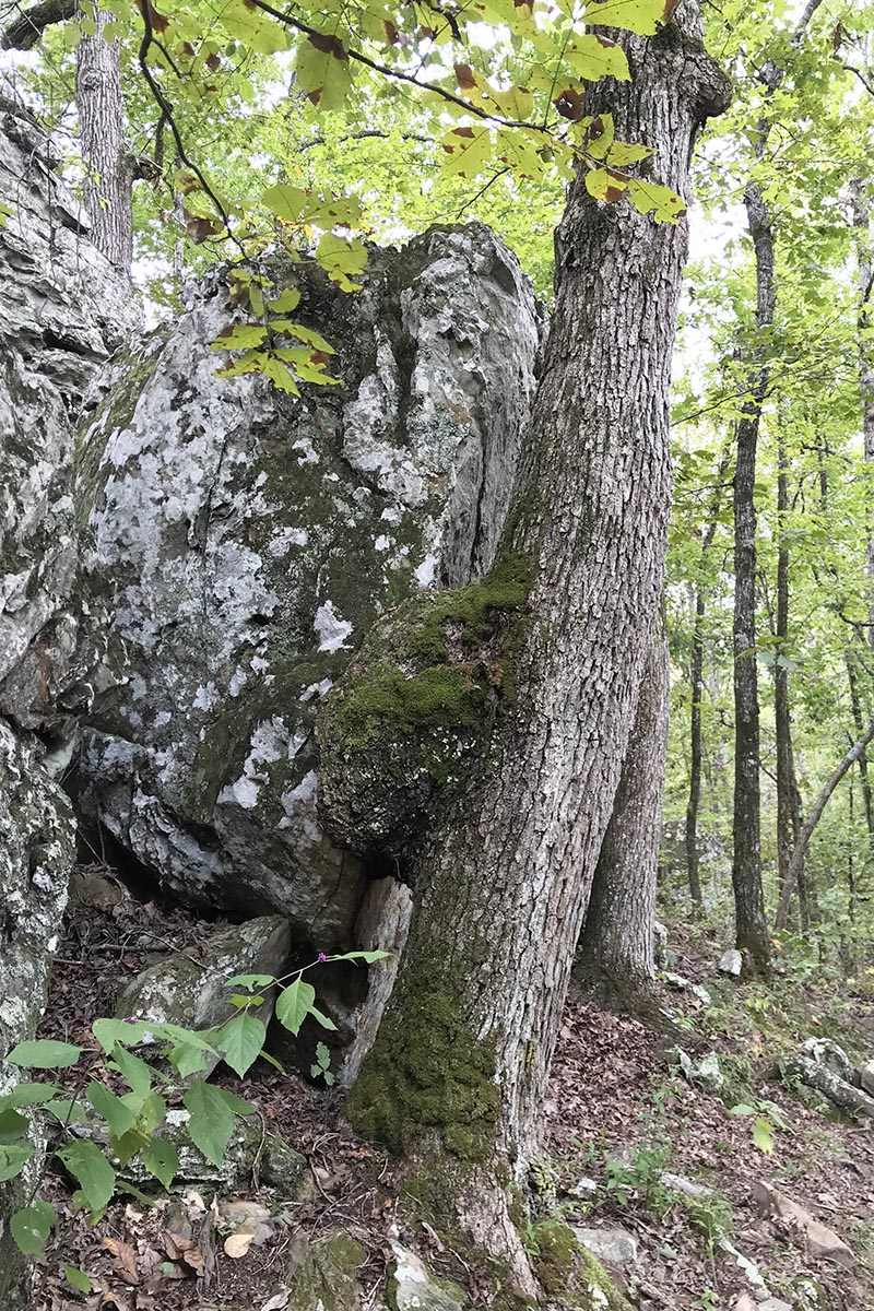tree knot grown into boulder on Seven Hollows Trail in Petit Jean State Park